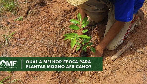 UAL A MELHOR EPOCA PARA PLANTAR MOGNO AFRICANO