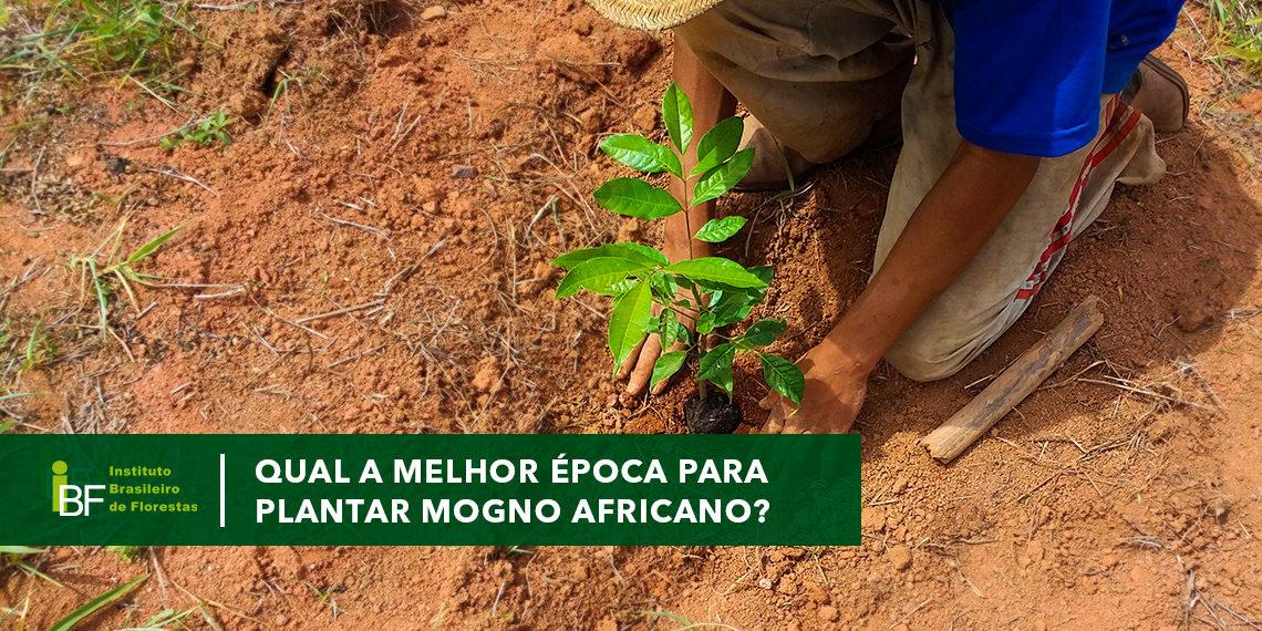 Melhor época para plantar Mogno Africano