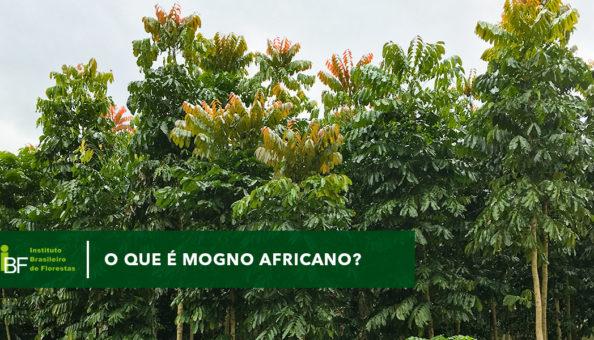 O que é o mogno africano