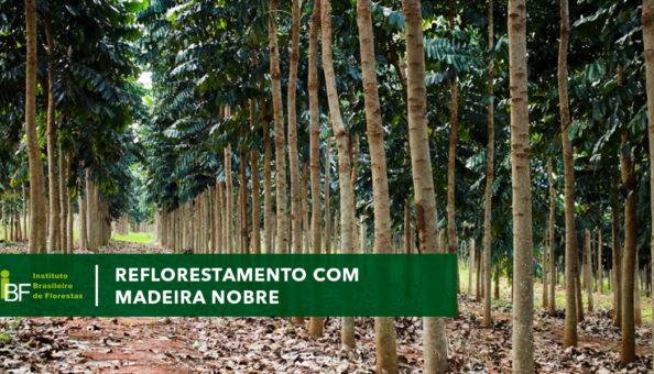 Reflorestamento com madeira nobre