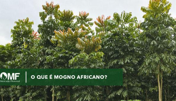 Floresta o que é mogno africano, foto de uma floresta de mogno africano