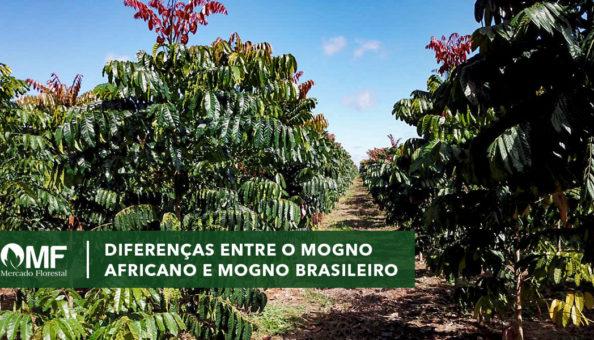 Diferença entre Mogno Brasileiro e Mogno Africano