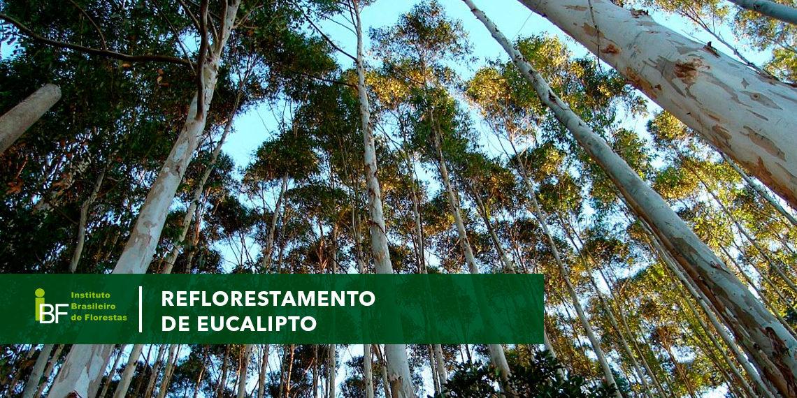 Reflorestamento de eucalipto