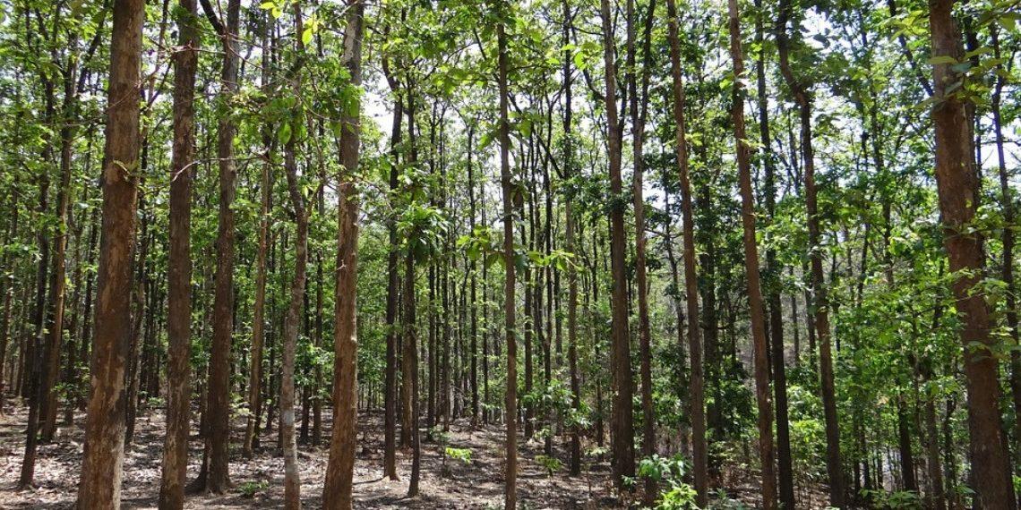 Vantagens e desvantagens do reflorestamento de teca