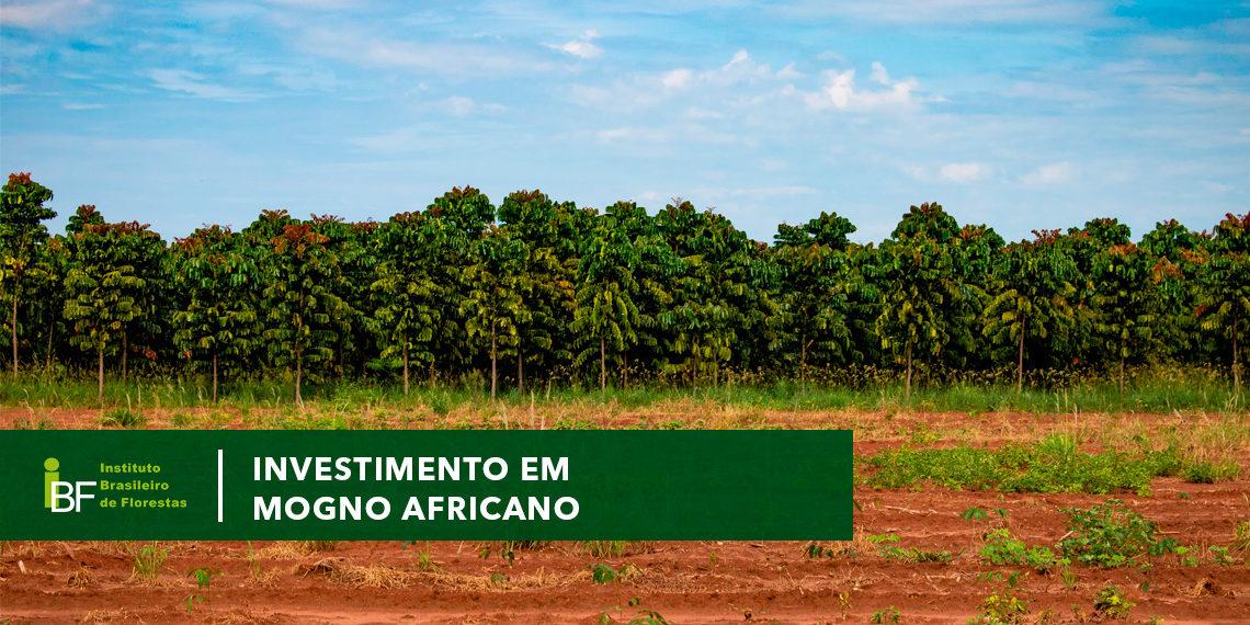 Investimento em mogno africano