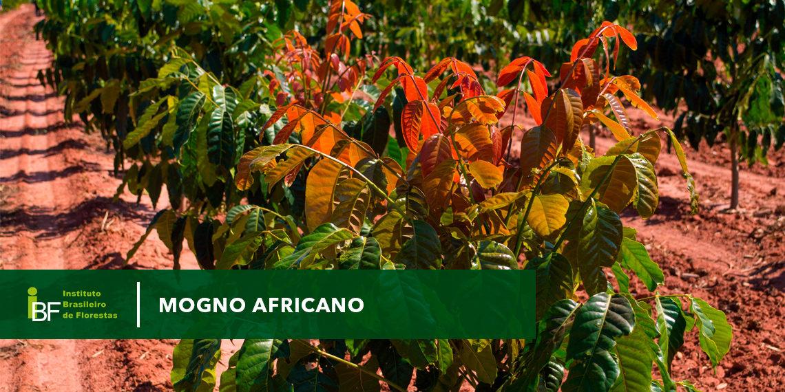 O Mogno Africano