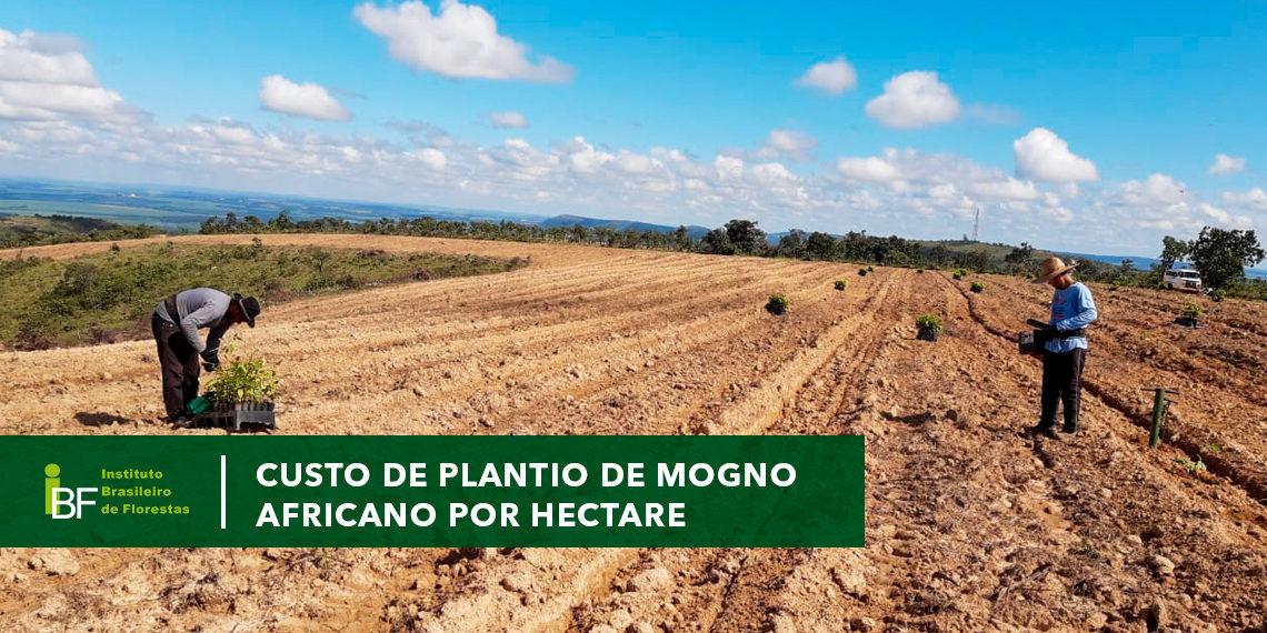 Custo de plantio de Mogno Africano