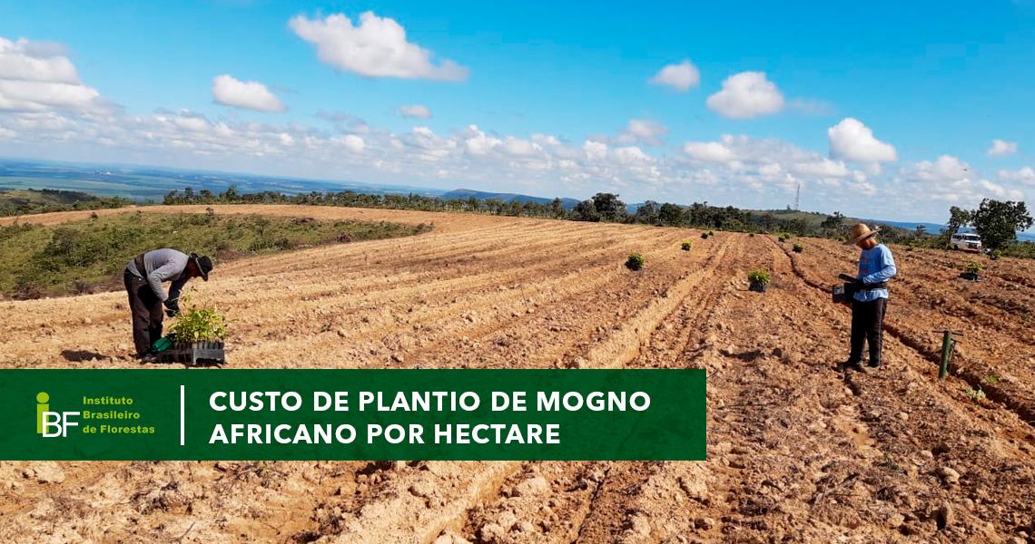Custo de plantio de Mogno Africano por hectare