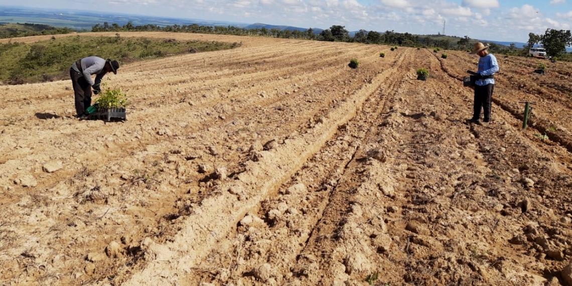 Custo de Plantio do Mogno Africano