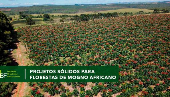Projetos sólidos para florestas de mogno africano