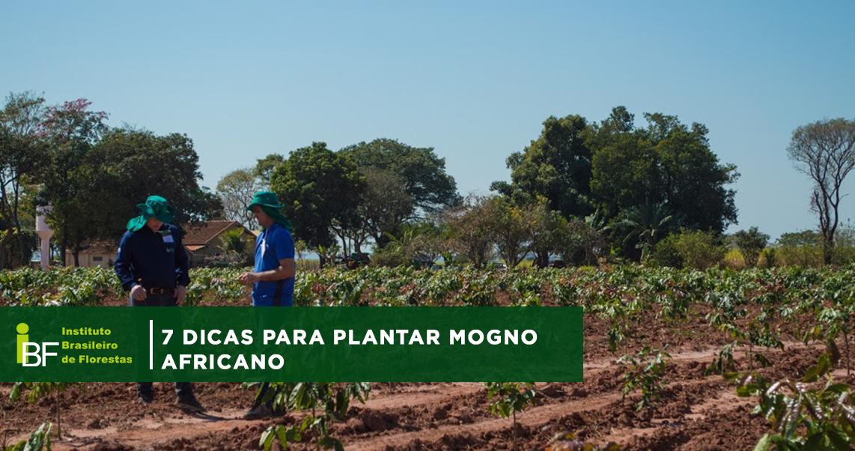 7 dicas para plantar Mogno Africano