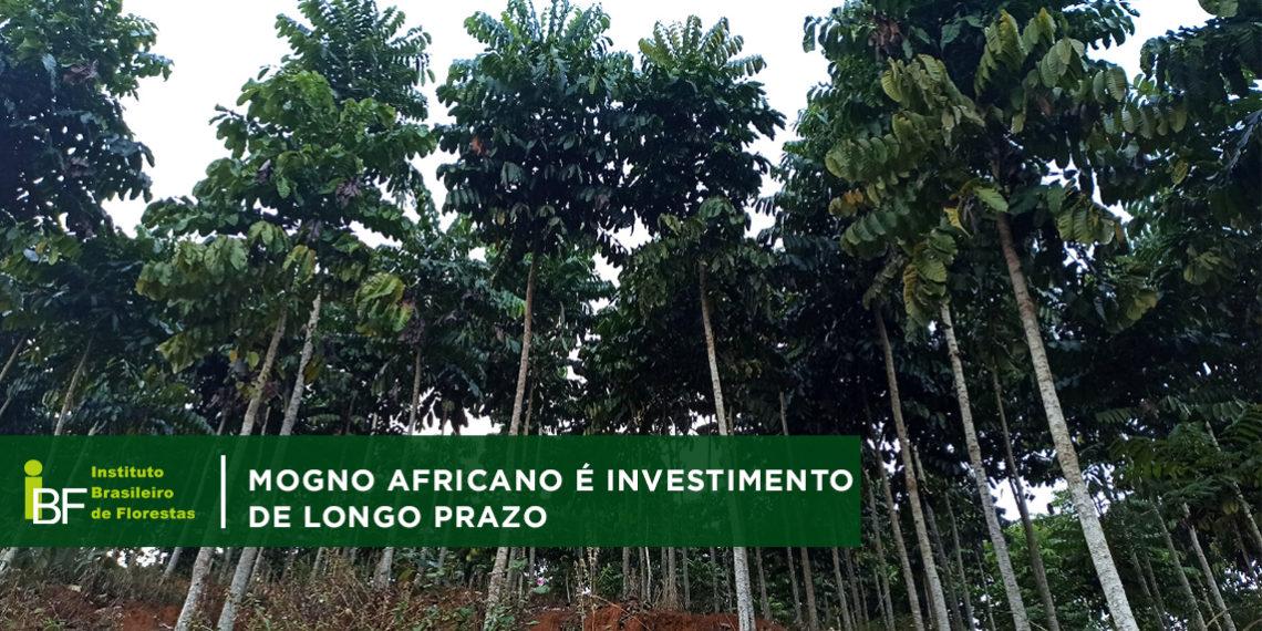Madeira Nobre: Mogno Africano é investimento de longo prazo com excelentes retornos financeiros