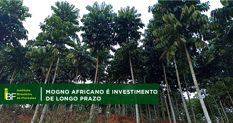 Madeira Nobre: Mogno Africano é investimento de longo prazo com bons retornos financeiros