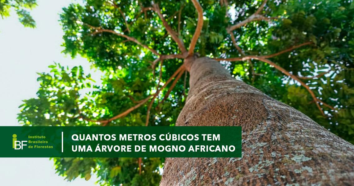 Quantos metros cúbicos tem uma árvore de Mogno Africano?