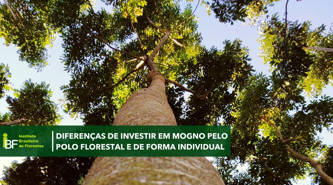 Diferenças de investir em Mogno Africano no Polo Florestal ou de forma individual